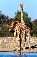 Giraffe (Giraffa camelopardalis), young males fighting in mating season. Etosha National Park, Namibia