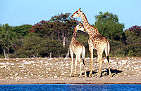 Giraffe (Giraffa camelopardalis), male and young female in mating season. Etosha National Park, Namibia