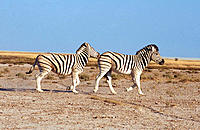 Burchell's Zebra (Equus burchelli), mating season. Etosha National Park, Namibia