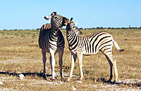 Burchell's Zebra (Equus burchelli), female with young. Etosha National Park, Namibia