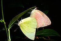 Lemon Emigrant butterflies (Catopsilia pomona pomona) mating