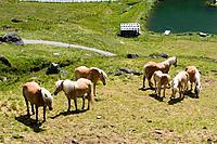 Haflinger horses. Tyrol, Austria