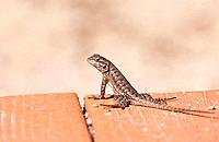 Chapparal lizard.Thousand Oaks. California, Usa