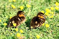 Mallards, young, Anas platyrhynchos, grass,