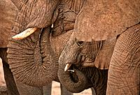 Namibia, African elephant, Loxodonta africana, Summer 2007, Africa, herd, elephants, young, baby, animals, nature, wil