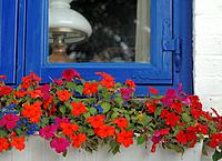 Geranium on window sill