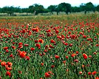 Poppy meadow (thumbnail)