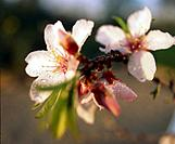Almond blossom (thumbnail)