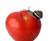 Snail on a tomatoe