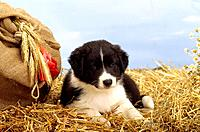 Border Collie _ puppy lying in straw