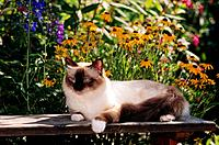 Sacred cat of Burma _ lying in front of flowers