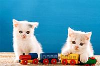 two British Shorthair kittens _ with toy_train