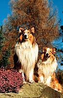 two Collies _ sitting on rock