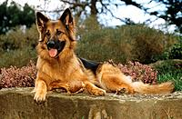 old german shepherd dog _ lying on rock