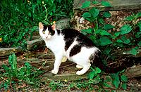 domestic cat _ standing