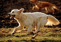 Golden Retriever _ running on meadow
