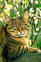 tabby domestic cat _ in front of willow catkin