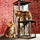 two Maine Coon kittens _ with lanterns