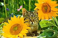 tabby domestic cat _ lying between sun flowers