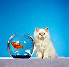 Sacred Cat of Burma _ kitten sitting next to fishbowl