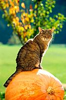 tabby domestic cat _ sitting on pumpkin