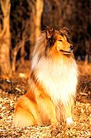 Collie _ sitting