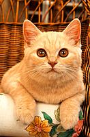 British shorthair _ portrait