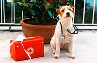 Parson Jack Russell Terrier next to first_aid kit