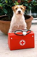 Parson Jack Russell Terrier with first_aid kit