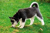 Siberian Husky _ puppy on meadow