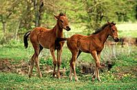 two warm_blood horses _ foals on meadow