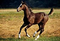 Hanoverian _ foal galloping on meadow