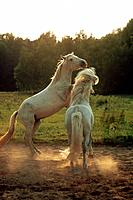 two Camargue horses _ playing