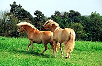 two Haflinger _ walking on meadow