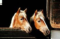 two Haflinger _ portrait