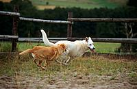 half breed dog and White swiss shepherd dog _ running on meadow