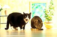 two domestic cats at feeding bowl