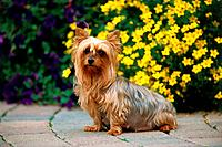 Yorkshire Terrier _ sitting in front of flowers