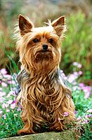 young Yorkshire Terrier _ sitting in front of flowers