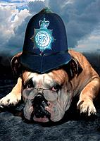 English Bulldog with police cap