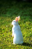 rabbit _ standing on meadow