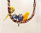 four budgerigars on rope / Melopsittacus undulatus