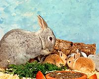 dwarf rabbit with three cubs