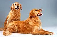 two Golden Retrievers _ cut out