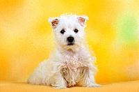 West Highland White Terrier _ puppy _ cut out