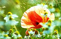 poppy _ between camomile