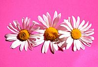 Three marguerite blossoms / Chrysanthemum leucanthemum (thumbnail)