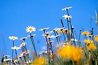 meadow with Ox_eye daisies