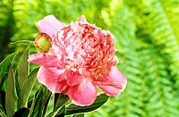 Common Peony with bud / Paeonia officinalis