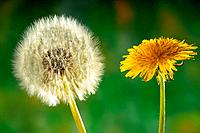 dandelion and clock / Taraxacum officinale